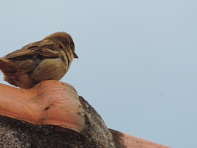 sparrow, birdie, roof, nature, bird