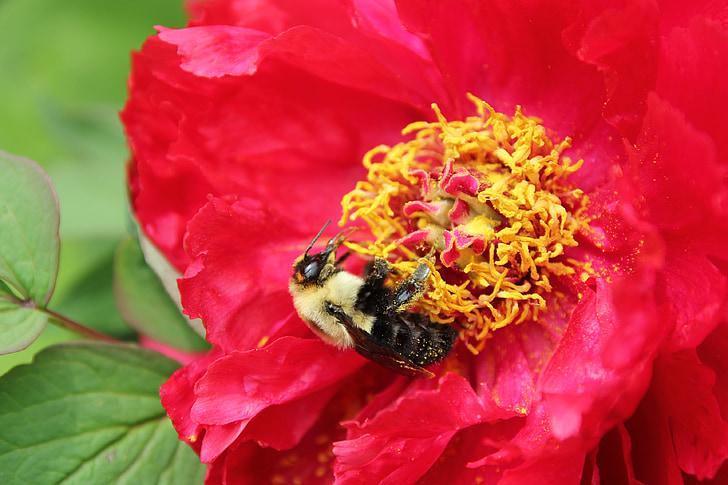 čebela, čmrlji čebela, polen, potonika drevesa, nektar