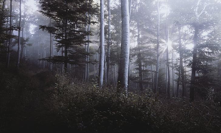 mørk, Firs, skov, træer
