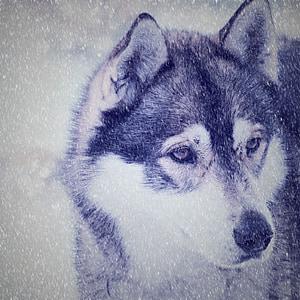 husky, dog, face, view, snow, sled Dog, winter