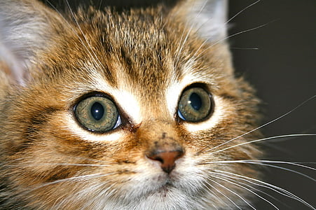 kitten, tabby, cat, pet, feline, domestic, kitty
