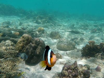 zivis, zemūdens, rifa, okeāns, ūdens, jūra, jūras