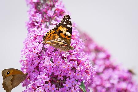 leptir, Lila, ljetni jorgovan, roza, roza cvijet, cvijet, cvatu