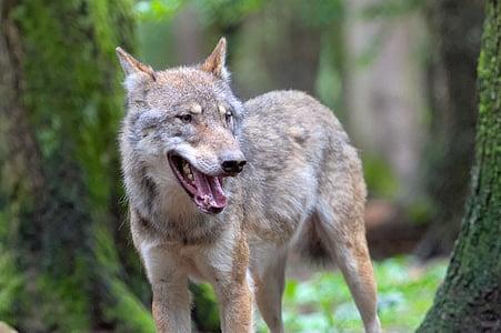 вълк, вълци, Canis lupus, животните, Портрет, Зоологическа градина, Европейски вълк