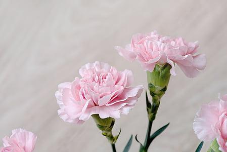 claus d'espècia, flors, Rosa, Clavell Rosa, flors roses, pètals, schnittblume