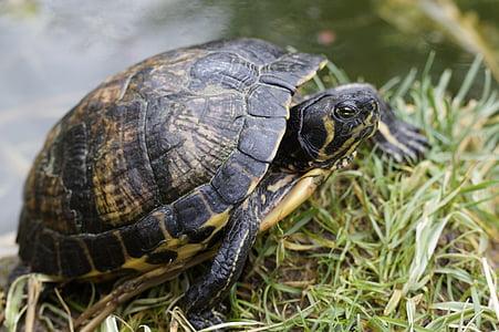 vode želva, želva, risanje, tankovska, živali, na vodi, ribnik
