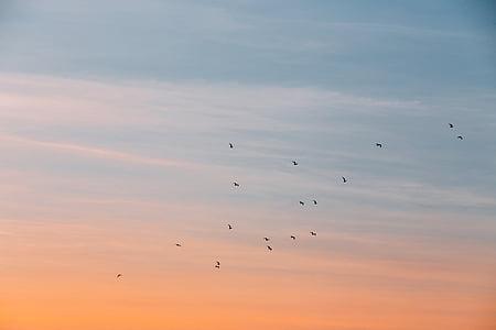 silueta, imatge, ocells, volant, capvespre, cel, vol