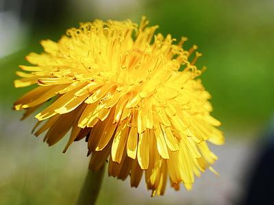 Regrat, Flora, vrt, plevela, narave, rumena, rastlin