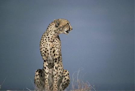 cheetah, african, predator, big cat, fast, wild, animal