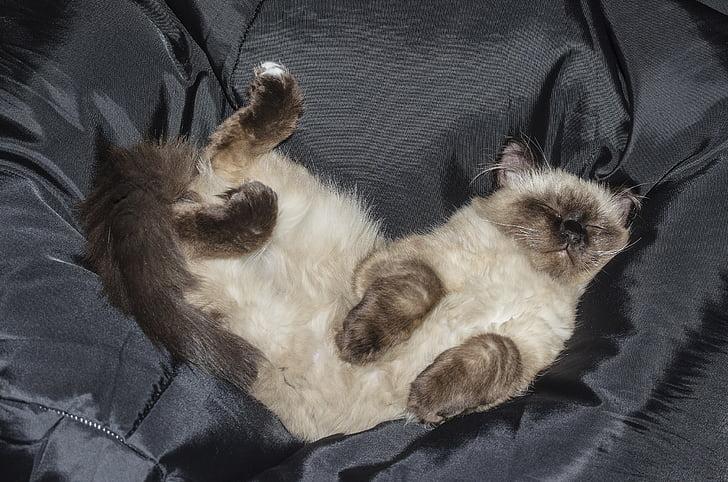 kucing, anak kucing, hewan peliharaan, Tabby kucing, menonton, kebohongan, favorit saya
