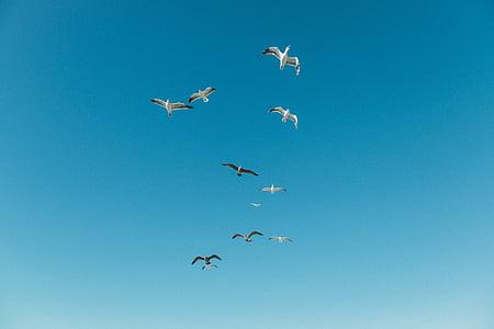 ฝูง, สีดำ, สีขาว, นก, มีเที่ยวบิน, สีฟ้า, ท้องฟ้า
