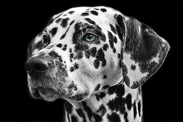 Dalmaçyalı, köpek, hayvan, kafa, hayvan portre, köpek doğurmak, siyah ve beyaz