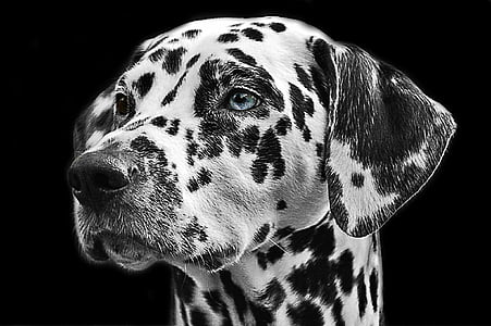 Dalmaţienii, câine, animale, cap, portret de animale, rasa de caine, alb-negru