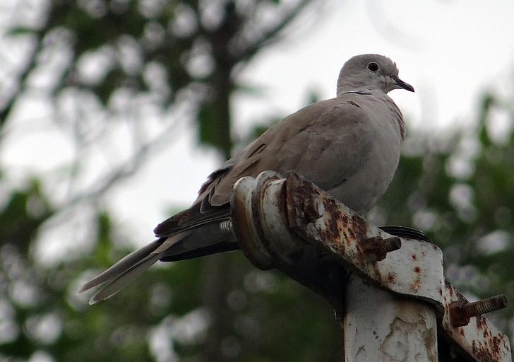eurasian collared dove, streptopelia decaocto, collared dove, ring dove, dove, bird, india