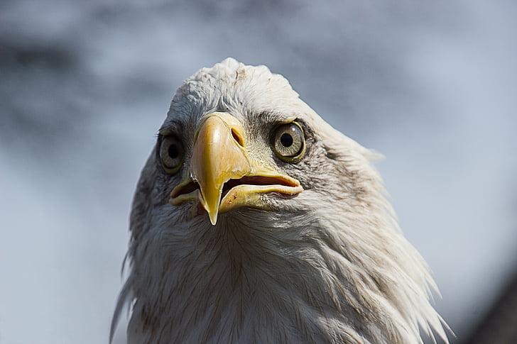 птица, орел, животински портрет, затвори, орел - птица, плешив орел, клюн