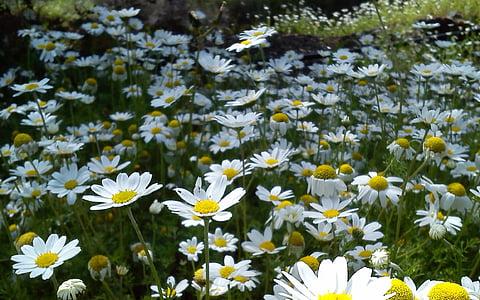 flowers, spring, daisies, nature, daisy, flower, summer