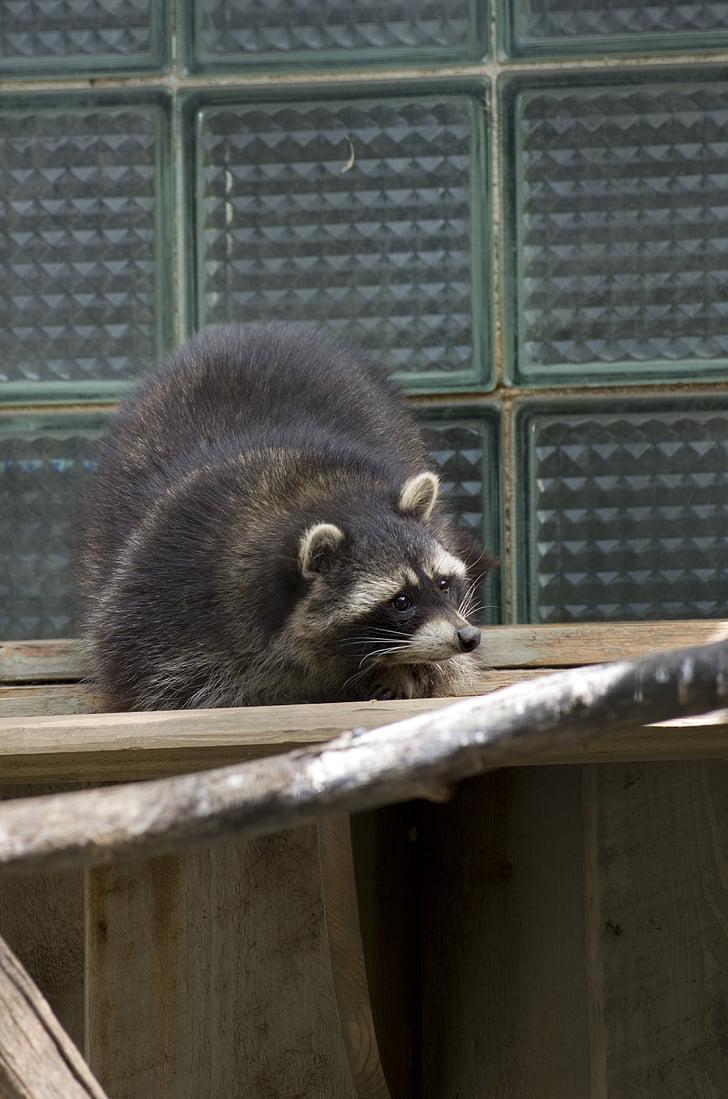 raccoon, animal, zoo, tallinn zoo