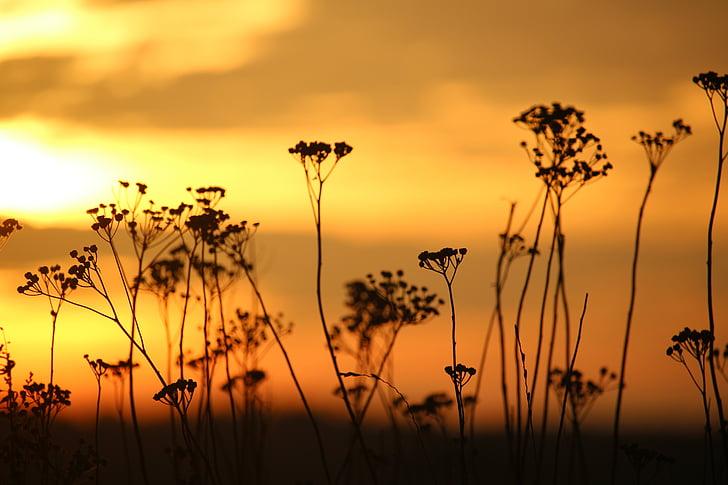 태양, 일몰, 저녁 하늘, 잔디, 쑥 국화, abendstimmung, 스카이