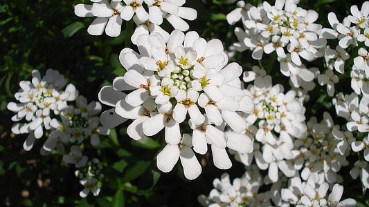 Blume, Frühling, weiß, Blütenblätter, weiße Blütenblätter, Gartenarbeit, Garten