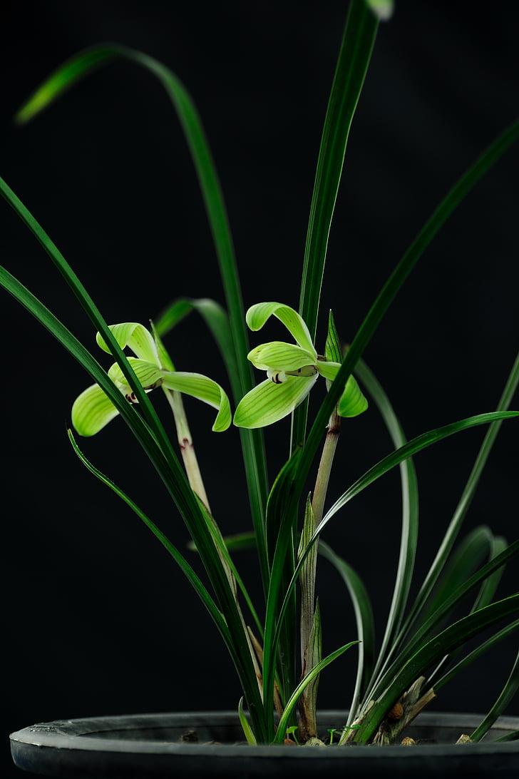 orquídia, flor, orquídies, bodegons, natura, planta, fulla