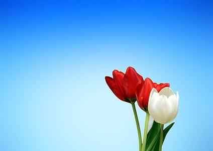 tulipes, vermell, blanc, primavera, estètica, estètica, fons de pantalla