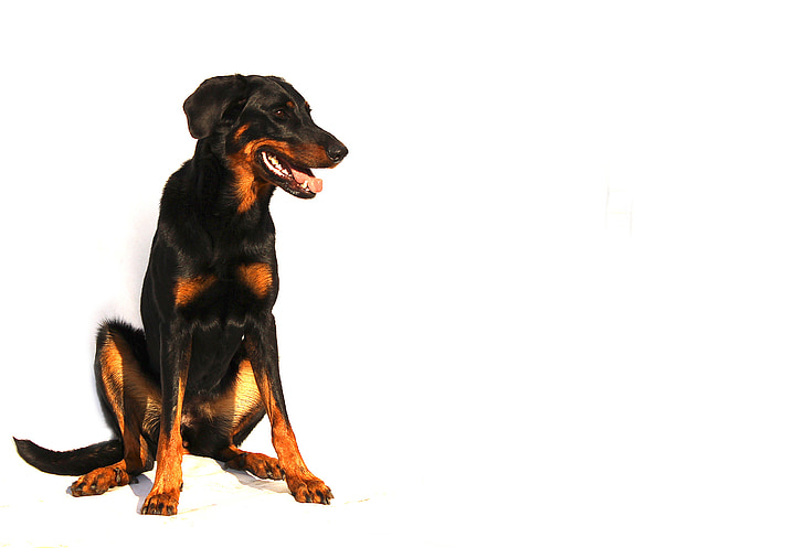 beauceron, dog, white, animal, breed, background, black