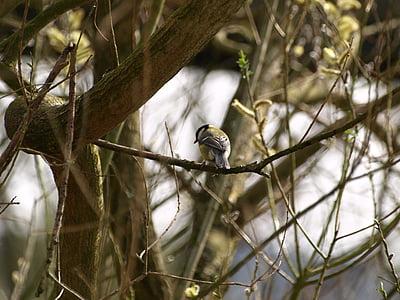tit, bird, nature, small bird
