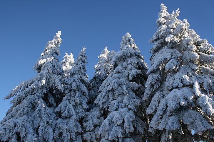 sne, sneklædte, grantræer, vinter, træer