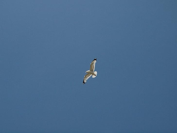 žuvėdra, dangus, paukštis, skristi, mėlynas dangus, Harmonija