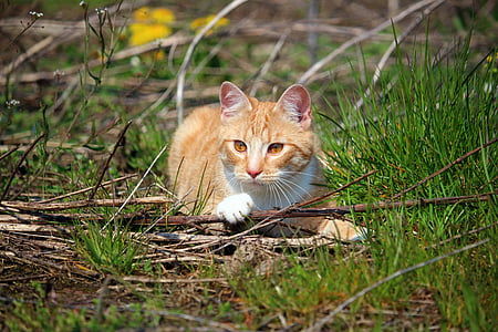cat, kitten, mieze, red mackerel tabby, red cat, mackerel, tiger cat
