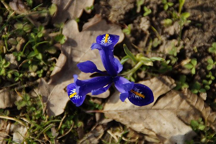 Iris, Wild flower, blauw, blauwe iris, Lissenfamilie, Bloom, natuur
