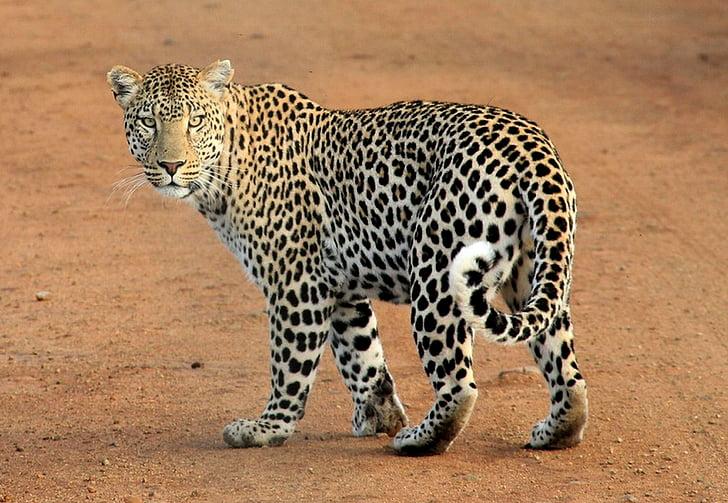 Gepard, Fuß, Boden, Leopard, Tier, Wildlife Safari, gesichtet