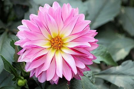 Dàlies, jardí de dàlia, flor, flor, flor, jardí, finals d'estiu