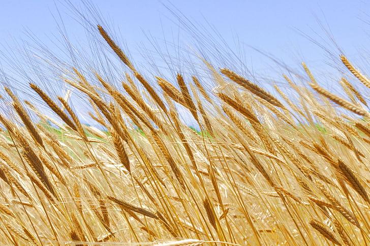 einkorn, lúa mì, ngũ cốc, ngũ cốc, hữu cơ, Triticum, thực vật