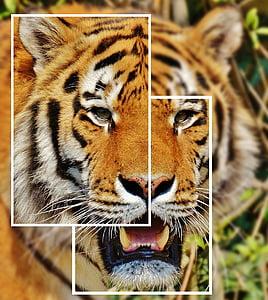 Tiger, kollaasi, Predator, turkis, Kaunis, vaarallinen, kissa