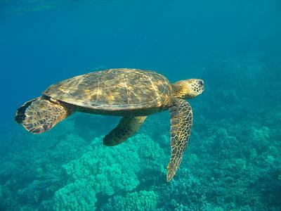 Подводный, Гавайи, мне?, черепаха, морской, Дикая природа, Грин
