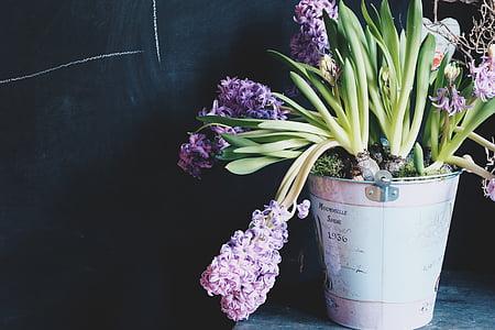 Topfpflanzen, Grün, lila, Pflanzen, Hyazinthe, Anlage, Topf