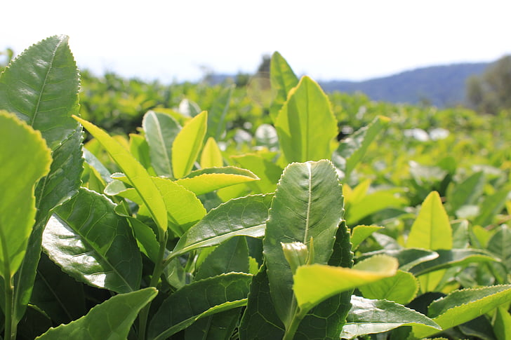 tea, tea plantation, plants, sheet