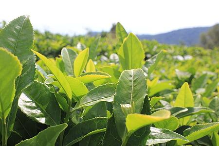 čaj, čaj plantáž, rastliny, list