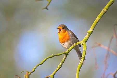 small bird, sing, robin, bird, close, garden bird, small