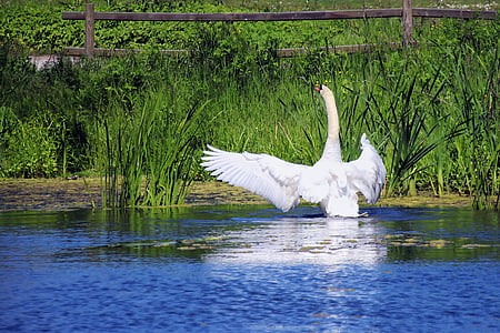 swan, pond, white, water, lake, nature, waters