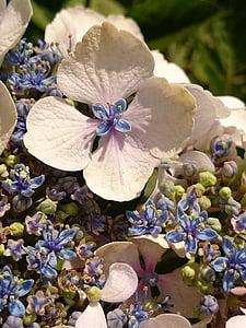 Hortensie, Garten, Sommer, Natur, Blume, Blüte, Flora