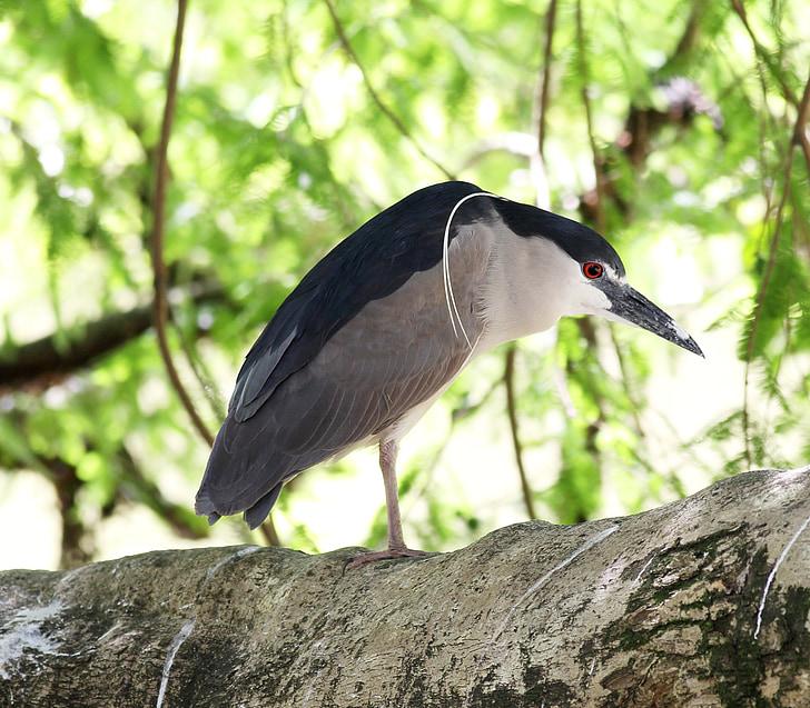 socó sleeper, fågel, av profil, vilda, på gren, fisk ätare