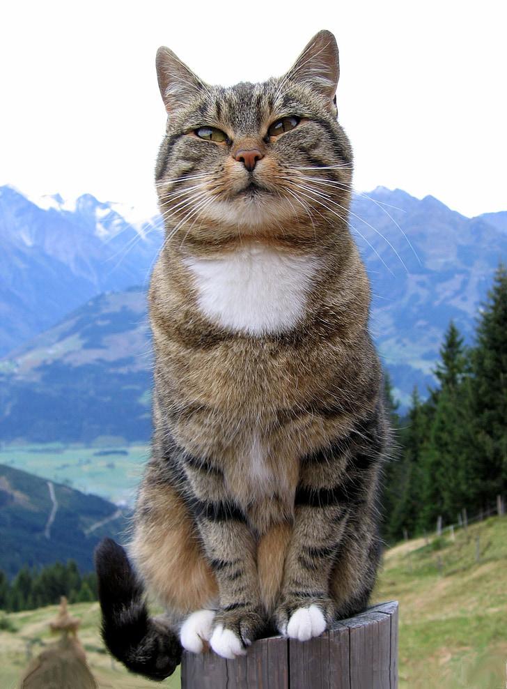gatto, animale domestico, caro, animale, gatto domestico, animali domestici, natura