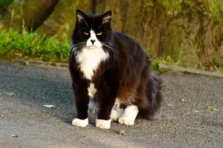 котка, животните, фон, кафяв, месоядни птици, домашни, очите