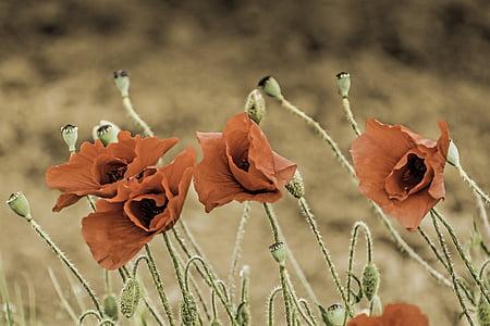 corn poppy, papaver somniferum, field poppy, maky, flower, flowers, field flowers