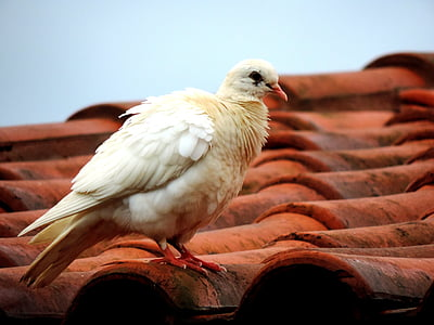 dove, roof, white dove, bird, birdie