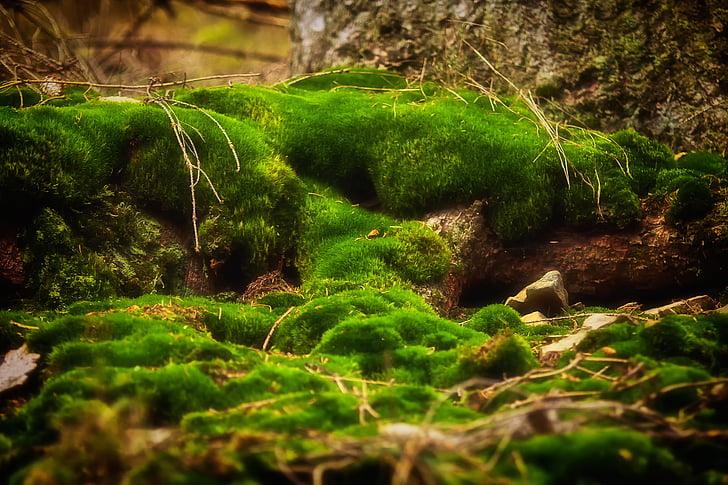 molsa, bosc, verd, natura, molsa fliegenpilz, bemoost, liquen