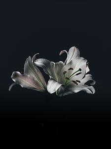 foto, valge, petaled, lilled, mustal taustal, lill, Studio shot