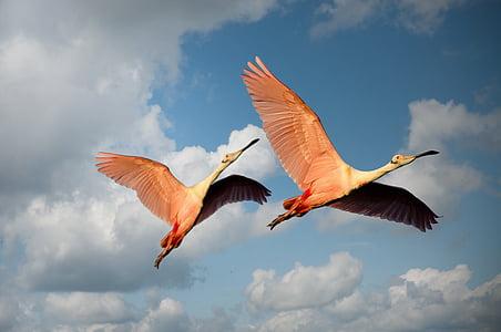 животни, птици, двойка, Фламинго, Мексико, Криле, плаващи
